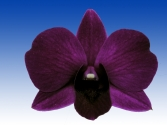 Dendrobium Dal&#039;s Delux x (Kiyomi Beauty x Nong-Kham Beauty) xx Hawaiin Beauty